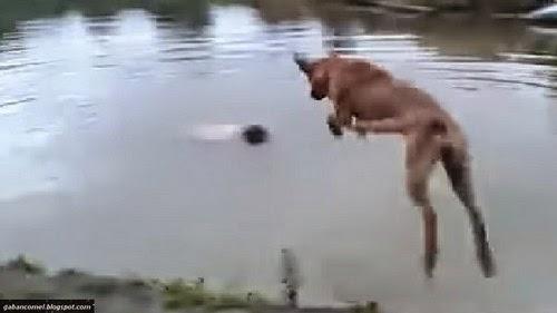 Video Ajing Ini Menyelamatkan Tuannya Dari Mati Lemas