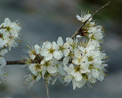 Bramble (Rubus sp)