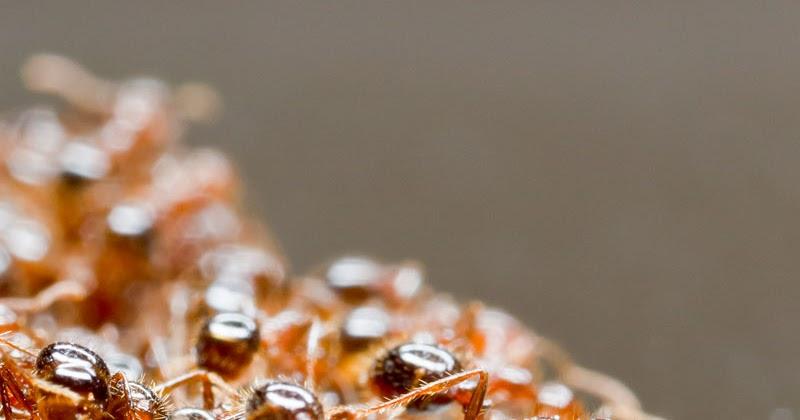 neuromonde les fourmis de feu sont sauv es par des radeaux qui les d passent. Black Bedroom Furniture Sets. Home Design Ideas