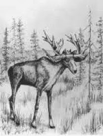 Oldest and youngest stag-moose identified in North America