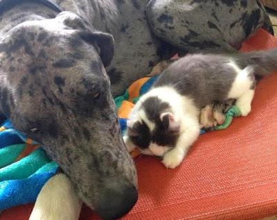 Foto Tinycat dan Zeus, persahabatan kucing mungil dan anjing raksasa