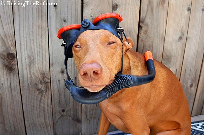 funny dog snorkeling