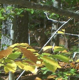 Adirondack Coyote or Wolf?