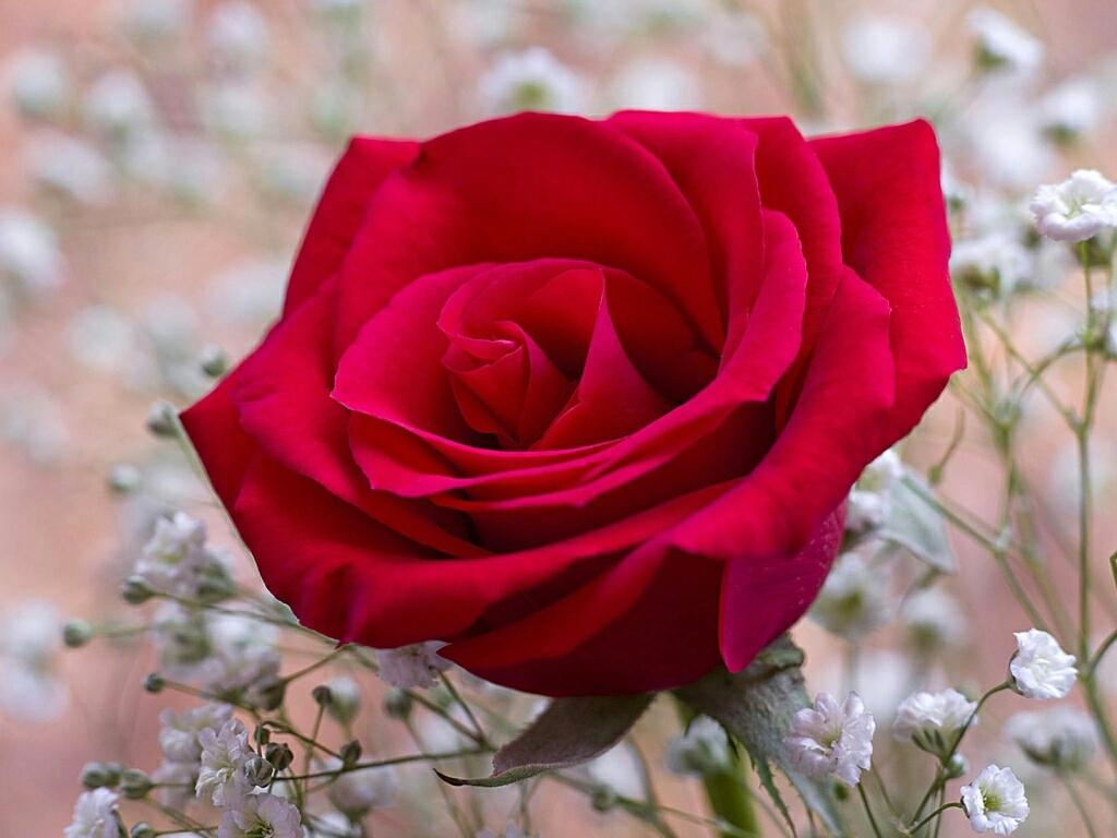 red rose desktop background - photo #21