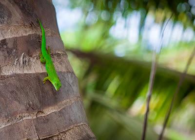 Ein grüner Gecko auf La Digue, Seychellen