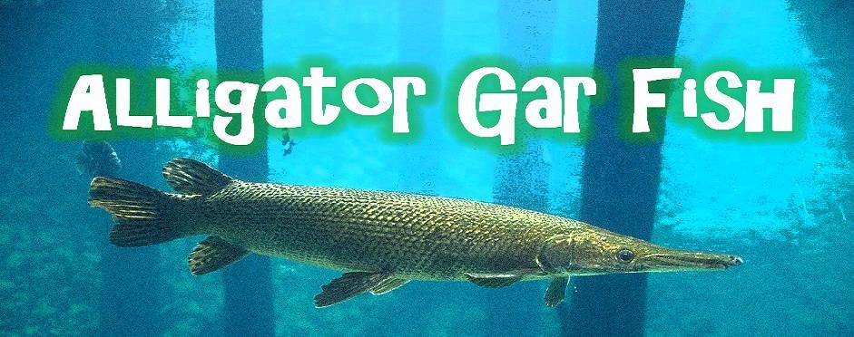 Picture Of A Gar Fish | The Alligator Gar Fish