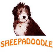 SheepaDoodle - Micro, Mini, Giant, Size, Character, Sale, Price, Care