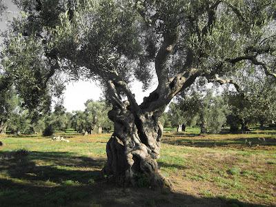 Olive Grove - Olive Tree - Near Torre Guaceto