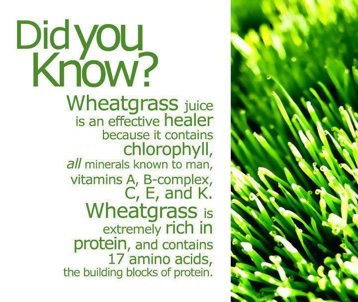 Benefits of wheatgrass supplements