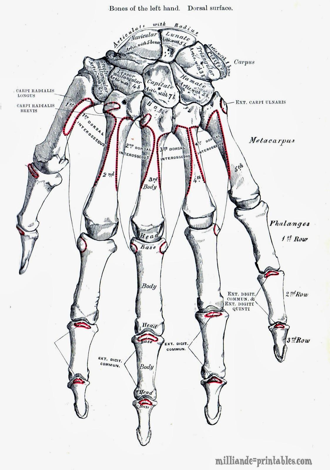 Human Anatomy Vintage Left Anatomy of The Human Hand