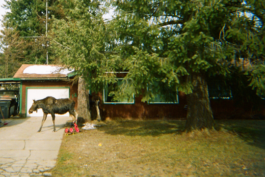 moose in Sandpoint Idaho