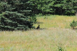 photo of doe and fawn in Summer field