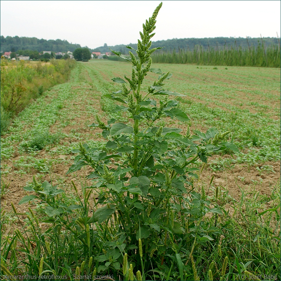 Amaranthus retroflexus - Szarłat szorstki latem
