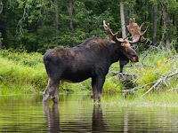 Moose Pictures Alces americanus