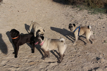 Pugs by the beach