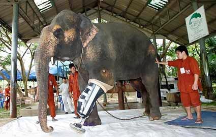 slon, asijský slon, slon s prostetickou nohou, prostetická noha, umělá noha, slon s umělou nohou, slon s prostetickou nohou, kobra, kobra královská, had, hadi v thajsku, zvířata v Thajsku, Thajsko, dovolená v Thajsku, Thajsko dovolená, život v Thajsku, dovolená na vlastní pěst, dovolená bez cestovky, dovolená na vlastní pěst Thajsko, Thajsko dovolená na vlastní pěst, dovolená bez cestovky Thajsko, Thajsko dovolená bez cestovky, Thajsko bez cestovky, Thajsko na vlastní pěst, blog o cestování, blog o Thajsku, blog o životě v zahraničí, nejoblíbenější blog, nejčtenější blog, fashion house, fashion house cz, fashionhouse, fashionhousecz, fashionhouse.cz, zajímavosti, nejčtenější blog, blog roku, blogerka roku, budha, nekvětší budha, thajsko a budhismus, budhismus, budhismus v Thajsku, náboženství v Thajsku, Bayoke Tower, Bayoke Tower Hotel, nejvyšší hotel na světě, nejvyšší budova v Thajsku, zvířecí svatba, nejdražší svatba, nejdražší zvířecí svatba, kočičí svatba