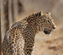 Leopard, India