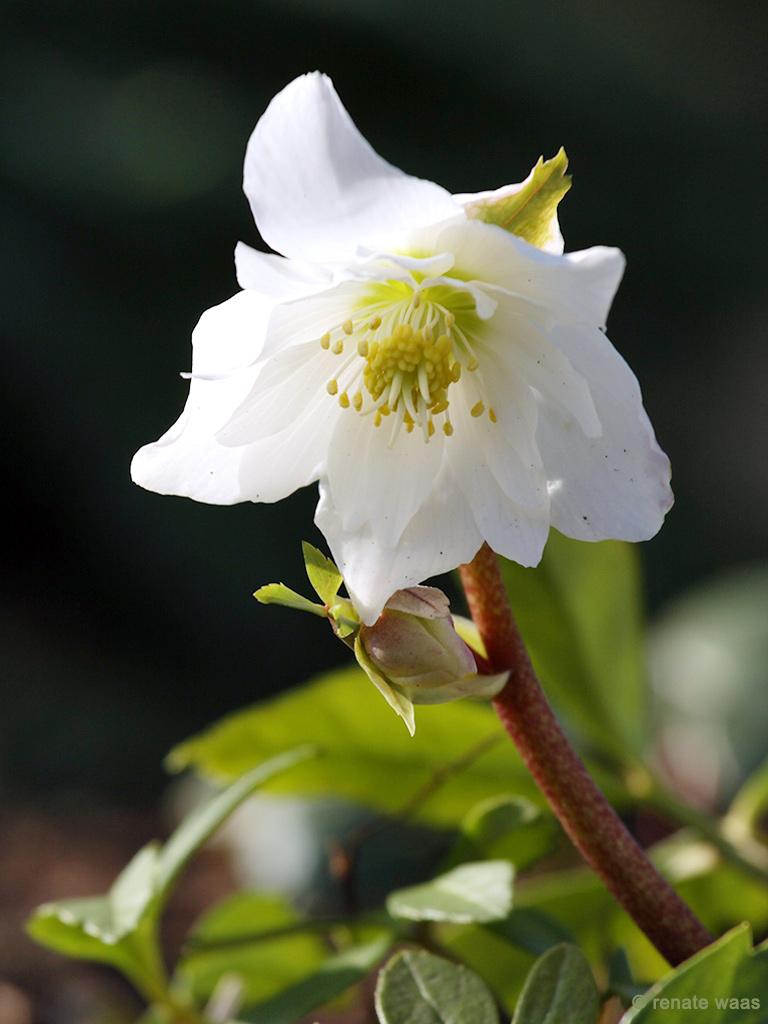 halbgefüllt Christrosen im Garten pflanzen, pflegen, vermehren