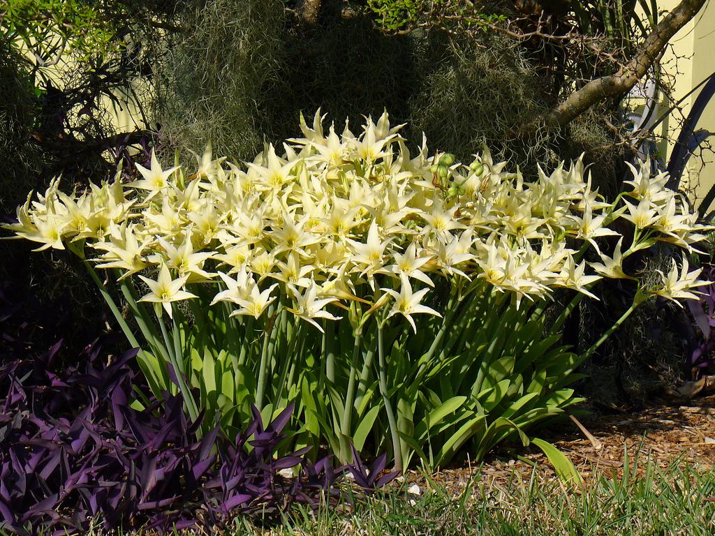 Амариллис уход и выращивание в саду 100