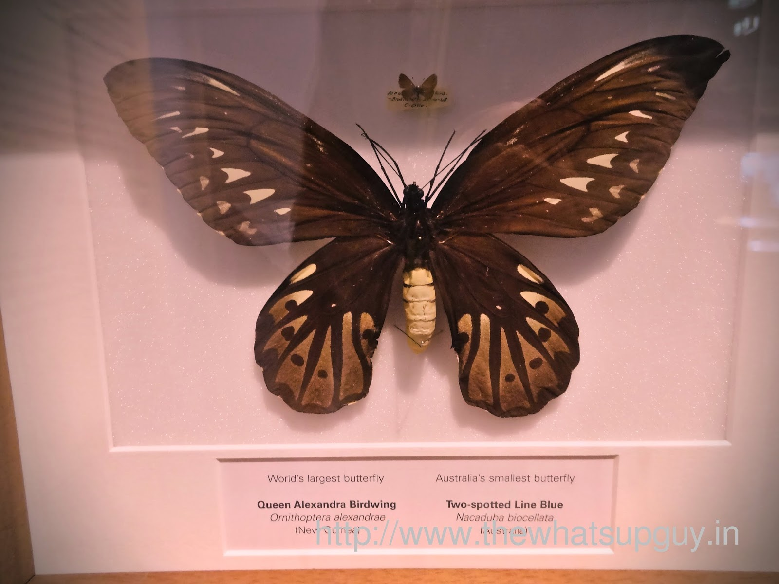 Melbourne Museum Worlds Largest Smallest Butterfly