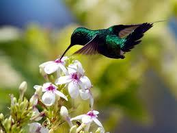 Merawat Burung Jenis Kolibri - Kolibri Ninja ( Hitam )