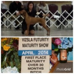 Vizsla Nationals 2014