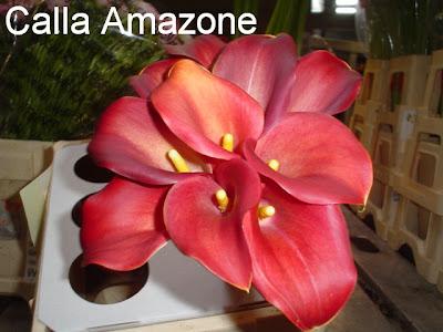 image Calla Amazone