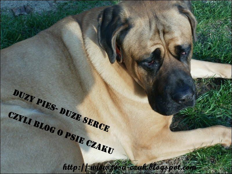 Duży pies- duże serce czyli blog o psie Czaku