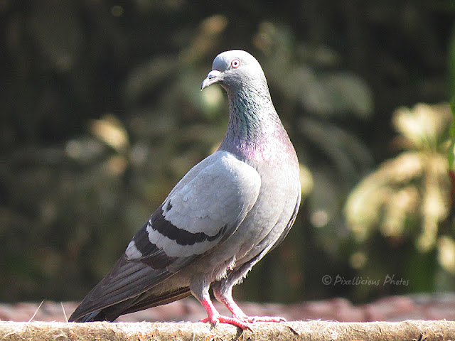 Rock Dove, Pigeon