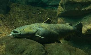 http://3.bp.blogspot.com/-avywdBUk0Wg/TfkFEa5sjSI/AAAAAAAABgU/Q6we2Ie-YKE/s1600/Orig-Flathead+Catfish+2.jpg