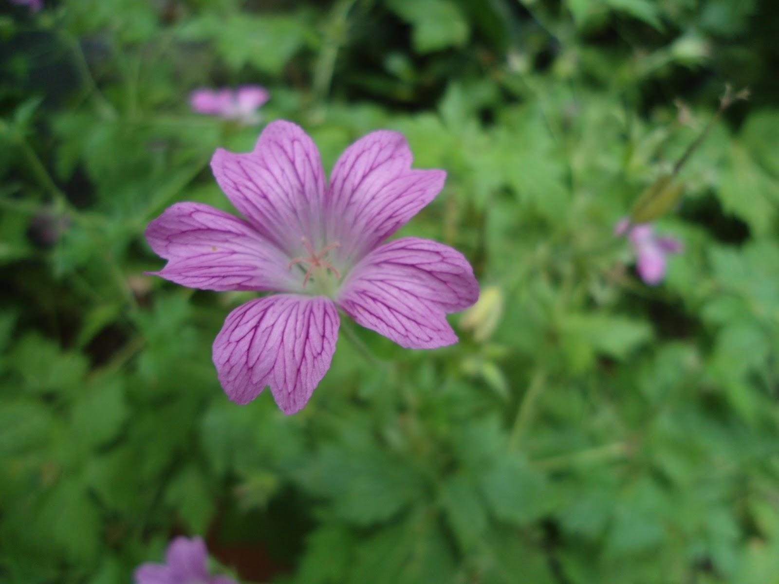 true geranium