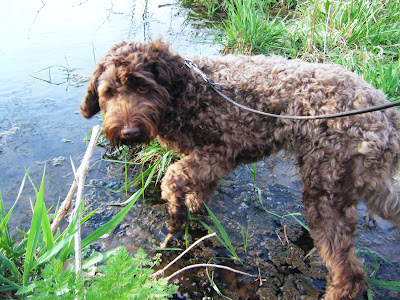 Alfie wading gingerly through a pond