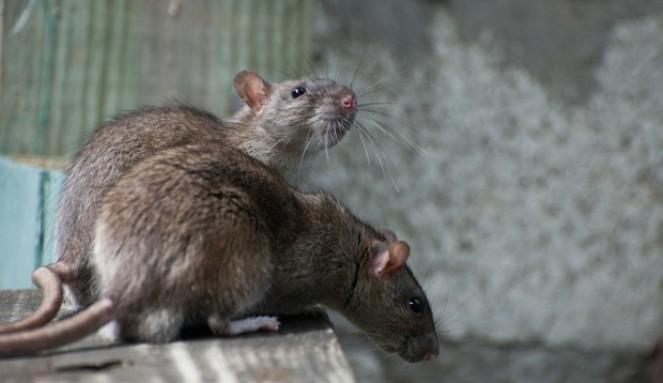 Ini Dia Tips Ampuh Usir Tikus Agar Tak Kembali Lagi!!