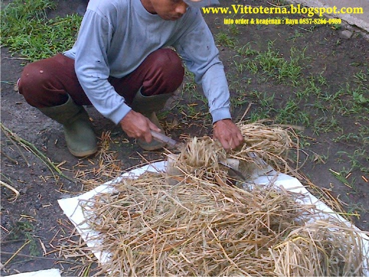 cara ternak bebek peking
