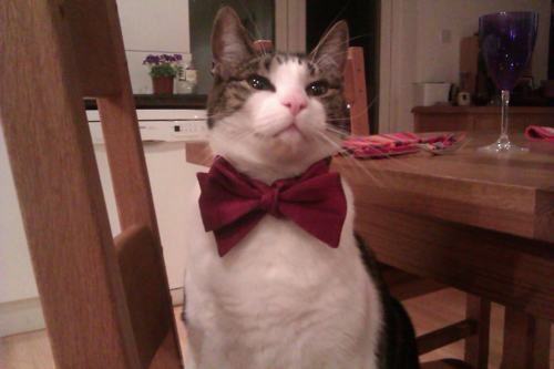 bow-tie-cat-kitten-kitty-pic-picture-funny-lolcat-cute-fun-lovely-photo-images