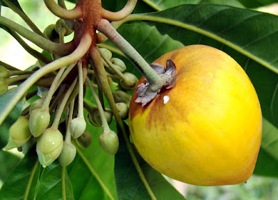 Canistel Fruit (Pouteria Campechiana) Overview, Health Benefits, Side effects