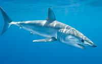 Ikan hiu Mako Isurus