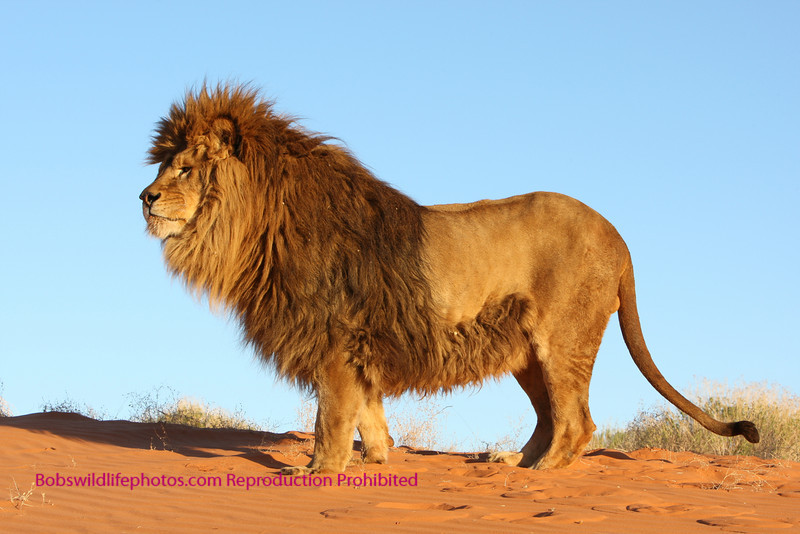 Barbary Lion Vs African Lion