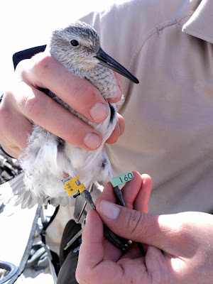 Tagged red knot.