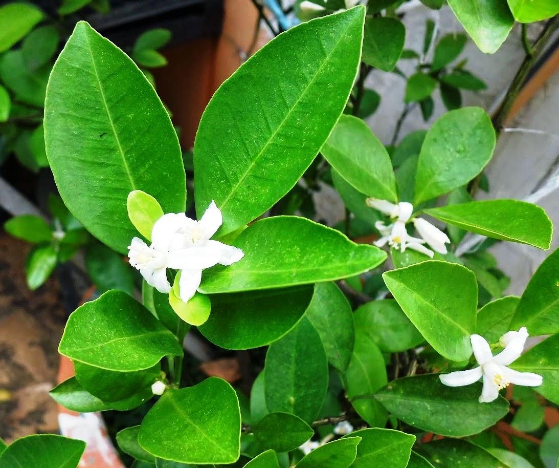 Alternative Medicine from Orange Leaf