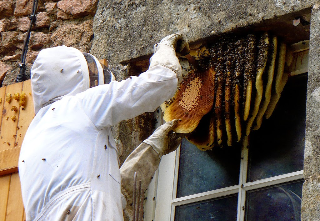 Honeybee Nest Removal by Max Westby