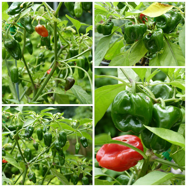 sweet peppers and chillies