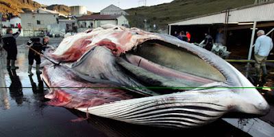 https://www.facebook.com/pages/Anarquistas/378066755607147 Islandia reabre la caza de ballenas eludiendo la prohibición Islandia es un país que te sobrecoge y te corta la respiración por muchísimas razones. La belleza de sus paisajes es tan imponente que es difícil imaginarla, sus glaciares, sus playas, sus volcanes, sus pájaros, y su caza de ballenas. ¿ Caza de ballenas? Sí. Islandia este año ha reabierto su caza de ballenas.  Islandia este año va a cazar más de 150 rorcuales comunes. Tras dos años sin cazar ballenas, según ellos porque no se podía exportar la carne al mercado japonés debido a la crisis sufrida por Japón tras el terremoto y posterior tsunami, Islandia este año nos sorprende reabriendo la caza de ballenas. Aún así, Islandia hace oídos sordos, esta semana el ballenero islandés Kristján Loftsson, llegaba al puerto de Hvalfjörður, en las afueras de Reykjavik con la primera ballena capturada, un rorcual común macho de más de 20 metros de largo, capturado por el ballenero Hvalur 8. Deprimente, lamentable y brutal. Esta cacería que rompe la moratoria a la caza comercial de ballenas establecida por la Comisión Ballenera Internacional por Islandia es vergonzosa. La mayor parte de lo capturado irá a los mercados de Japón, que se encuentran bastante deprimidos llegando a usar la carne de ballena en comida de lujo para perros, pero además Islandia también cazará algunos rorcuales aliblancos para el comercio turístico. Sin embargo, lo curioso y aberrante de la historia es que el avistamiento de ballenas, da muchos más beneficios turísticos, el año pasado unas 175.000 personas fueron a ver nadar ballenas en libertad a Islandia.  Esta operación se está llevando a cabo pese a la prohibición de la caza comercial de ballenas establecido por la Comisión Ballenera Internacional. Además el rorcual común está en la Lista Roja de especies amenazadas de la Unión Internacional para la Conservación de la Naturaleza. No es un caso aislado, no es un solo barco ballenero, el G