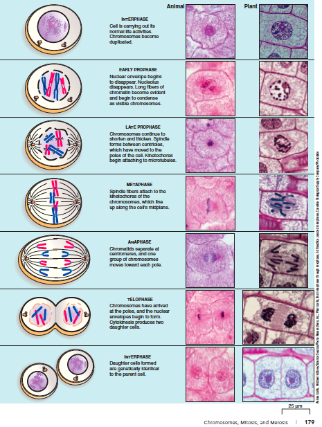 mitosis and meiosis experiment
