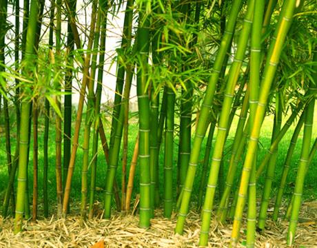 las pruebas realizadas en japn han demostrado que el carbn de bamb tiene un buen abono orgnico se mantiene el suelo a un nivel de ph adecuado para el
