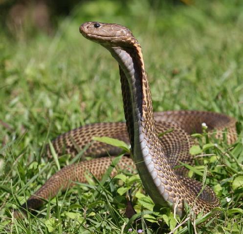 vet blog snake bites in the dog and cat