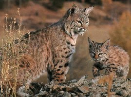 Bobcat Animal Wildlife