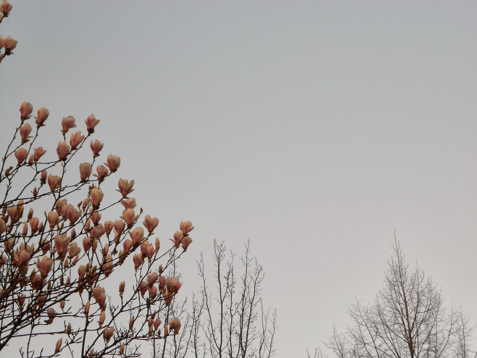 Blühende  Tulpen-Magnolie