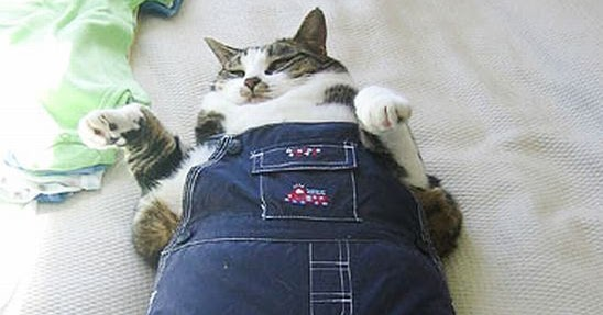 2 Cute Animal Pics Funny Fat Cat Wearing Overalls