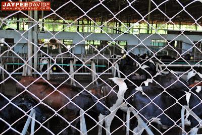 Hacienda Macalauan, Laguna, Gatas Tisoy, Dairy Farm